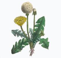 Biologi - undervisning, botanik og plantelære, lægeplanter og naturmedicin, krydderurter i Danmark