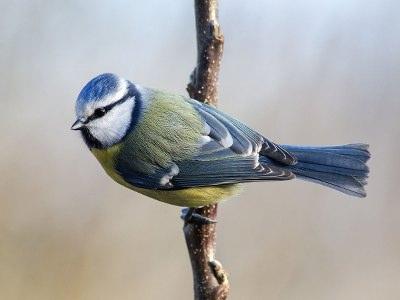 Fuglenavne - blåmejse