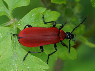 Insekter - kardinalbille