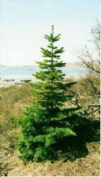 Grantræet - juleeventyr af H.C. Andersen