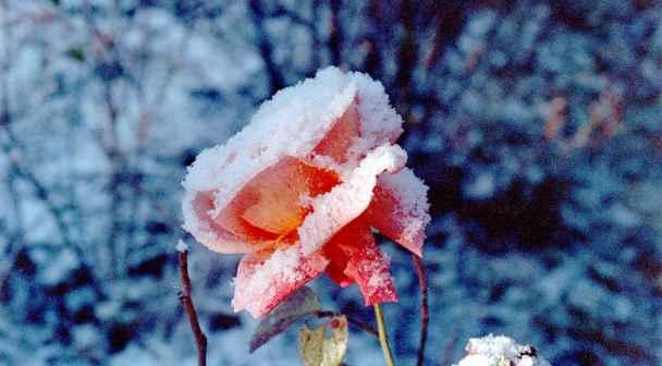 En rose så jeg skyde, tekst og melodi